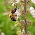 Rádio USP Ribeirão discute o efeito dos agrotóxicos nas abelhas