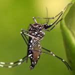 Saliva do Aedes aegypti podetratar doenças inflamatórias intestinais