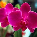 Drops de Hortelã com plantio de orquídeas