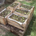 Horta orgânica em caixote