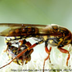 Tiphiidae é tema do Café com Ciência