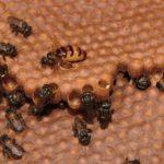 Rainha de abelhas sem ferrão não castra operárias