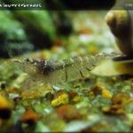 Reprodução dos camarões no Adote um Cientista