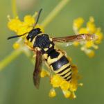 Café com Ciência tem vespas polinizadoras