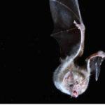 Origem e evolução dos morcegos