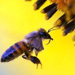 Desaparecimento das abelhas ameaça futuro