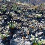 O manejo de fogo no cerrado e a conservação da vegetação