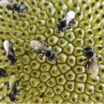 Desaparecimento das abelhas sem ferrão