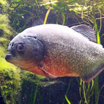 Café com Ciência fala sobre dieta de peixes